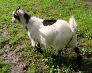 Goat-44