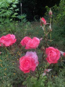 Rancho_Rincon_Roses