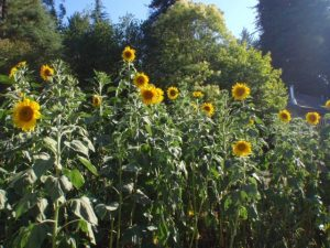 Rancho_Rincon_Sunflowers