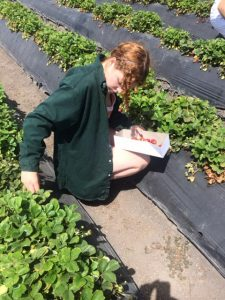 Rancho_Rincon_picking_strawberries
